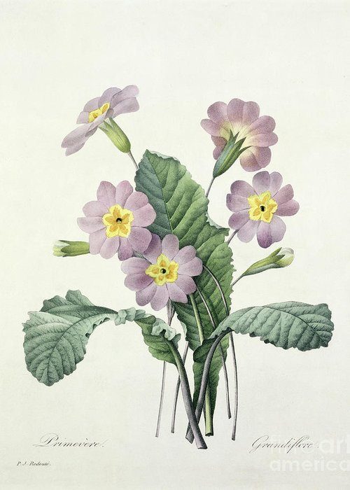 Primula Greeting Card featuring the drawing Primrose by Pierre Joseph Redoute