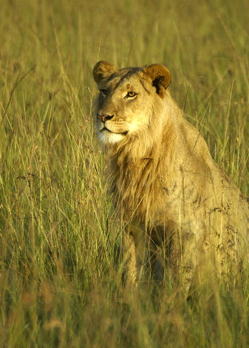 Africa Greeting Card featuring the photograph Princely Lion by Michele Burgess