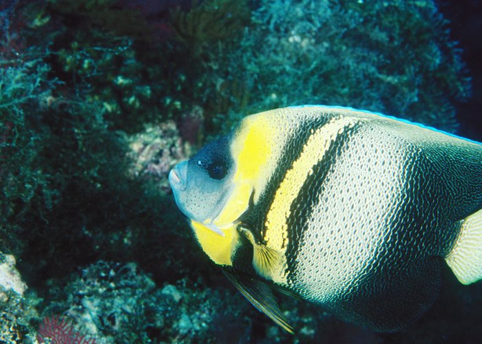 Sea Of Cortez Greeting Card featuring the photograph Profile Of A Cortez Angelfish by James Forte