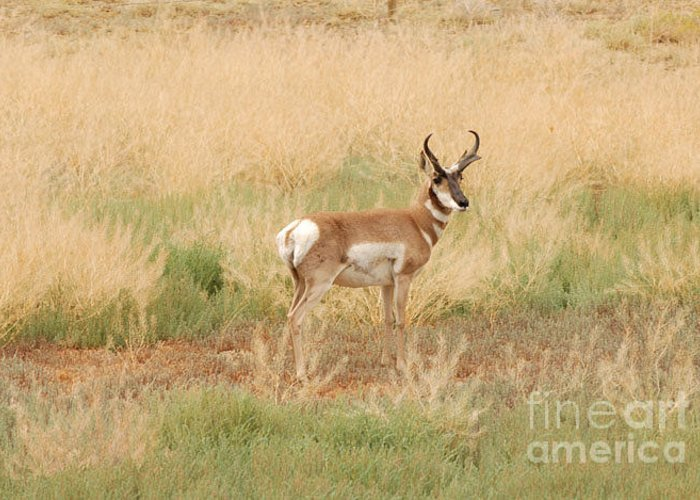 Pronghorn Greeting Card featuring the photograph Pronghorn Buck by Dennis Hammer
