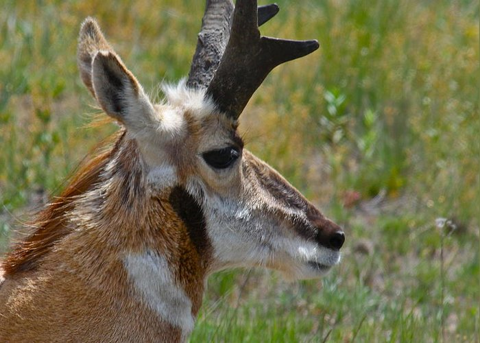 Pronghorn Greeting Card featuring the photograph Pronghorn Buck Profile by Karon Melillo DeVega