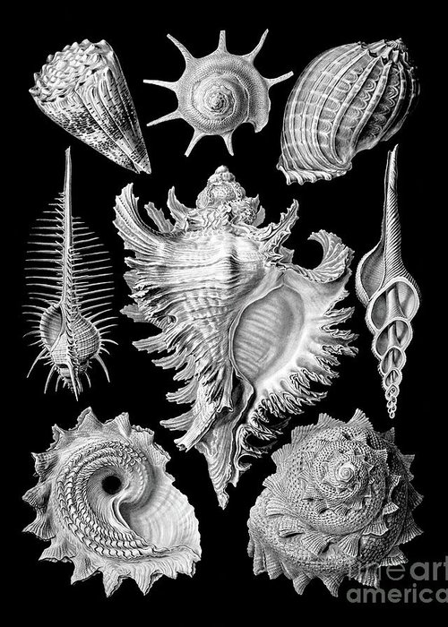 Marine Mollusc Drawings Greeting Cards