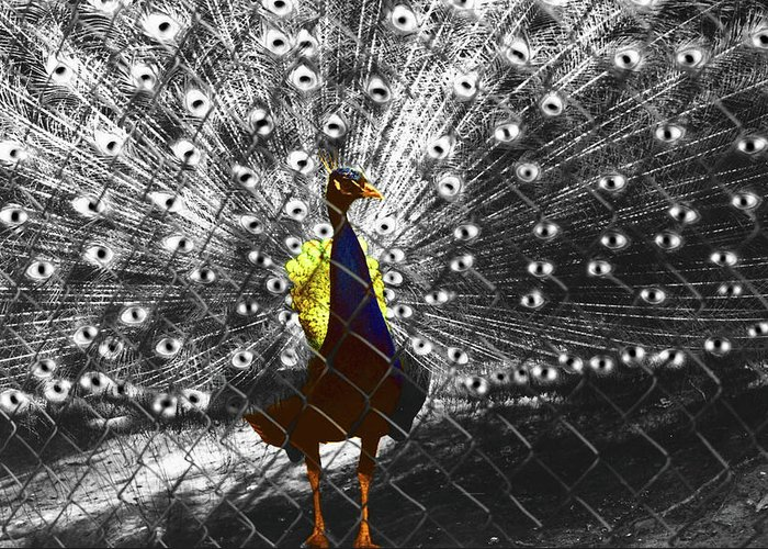 Al Bourassa Greeting Card featuring the photograph Proud As A Peacock by Al Bourassa
