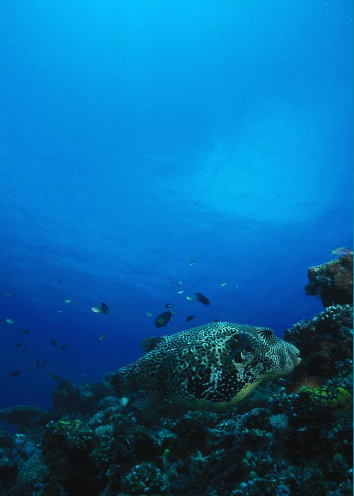 Solomon Islands Greeting Card featuring the photograph Pufferfish On Coral Reef by James Forte