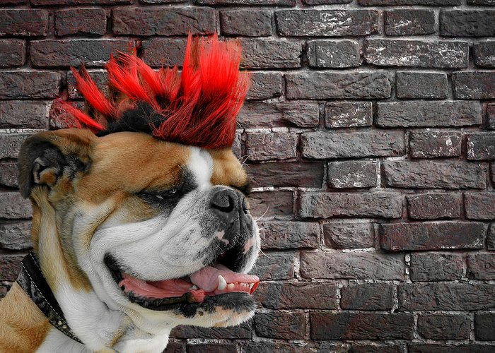 Bulldog Greeting Card featuring the photograph Punk Bully by Christine Till