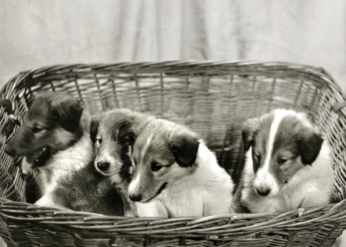 Vintage Greeting Card featuring the photograph Puppies Of The Past by Marilyn Hunt