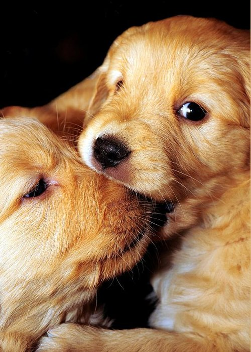 Puppy. Puppies Greeting Card featuring the photograph Puppy Love by Laura Mountainspring