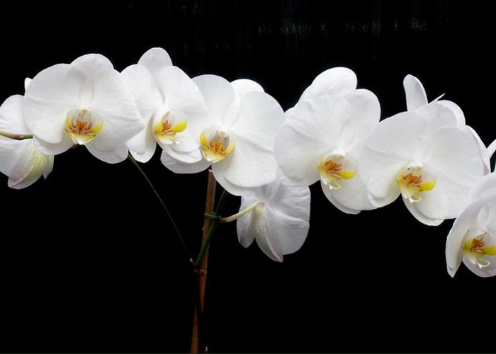 Orchid Greeting Card featuring the photograph Pure Orchid by Jeanette Oberholtzer
