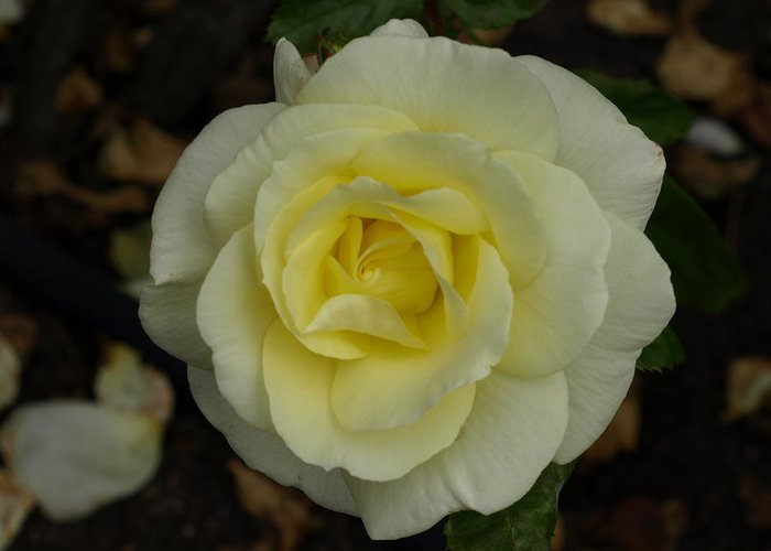 Rose Greeting Card featuring the photograph Purity by Laura Allenby