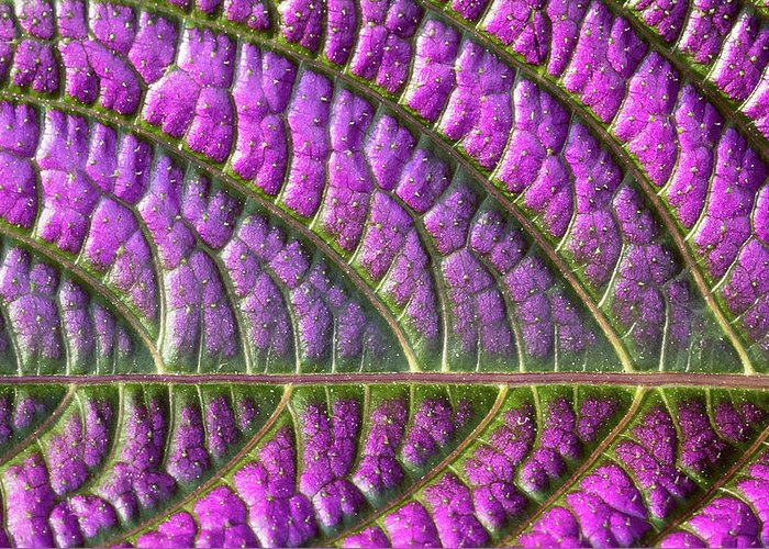 Purple Greeting Card featuring the pyrography Purple And Green Leaf by MJ Plocki