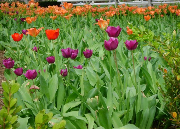 Purple And Red Tulips Greeting Card featuring the photograph Purple And Red Tullips by Cynthia Butler