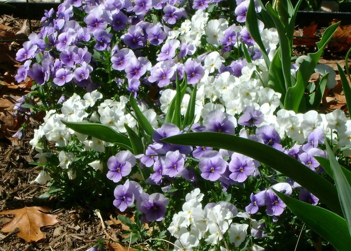 Purple And White Greeting Card featuring the photograph Purple And White by Cynthia Butler
