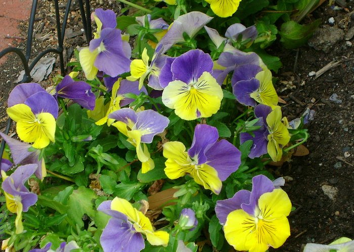 Purple And Yellow Pansies Greeting Card featuring the photograph Purple And Yellow Pansies by Cynthia Butler