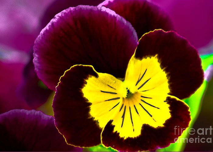Pansy Greeting Card featuring the photograph Purple And Yellow Pansy by Amber D Hathaway Photography