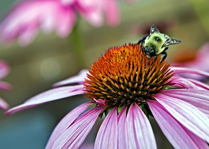 Macro Greeting Card featuring the photograph Purple Cone Flower And Bee by Al Mueller