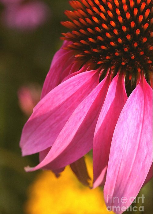 Coneflower Greeting Card featuring the photograph Purple Coneflower Close-up by Steve Augustin