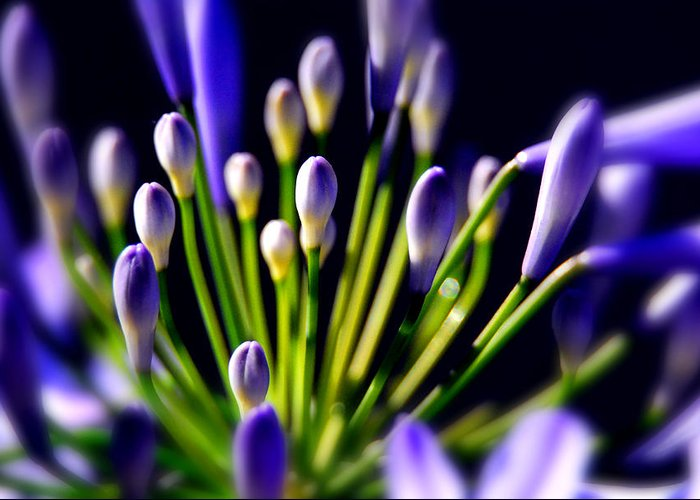 Flowers. Fine Art Greeting Card featuring the photograph Purple Flowers by Craig Incardone