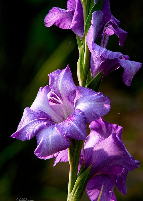 Gladiolas Greeting Card featuring the photograph Purple Glads by Christopher Holmes