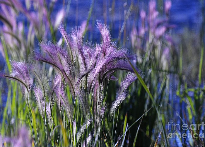 Grass Greeting Card featuring the photograph Purple Haze by Dennis Hammer
