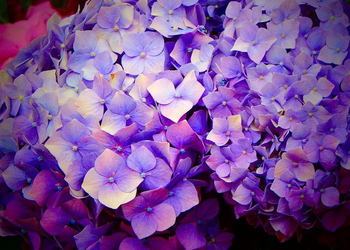 Purple Greeting Card featuring the photograph Purple Hydrangeas by Jane Izzy Designs