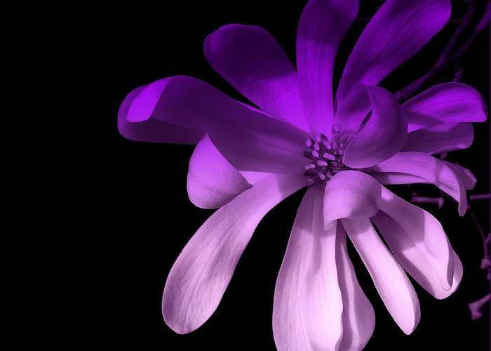 Purple Greeting Card featuring the photograph Purple Magnolia 2 by Dianne Pettingell