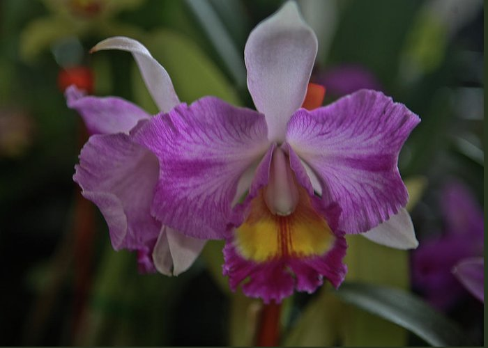 Orchid Greeting Card featuring the photograph Purple Orchid by Liz Santie