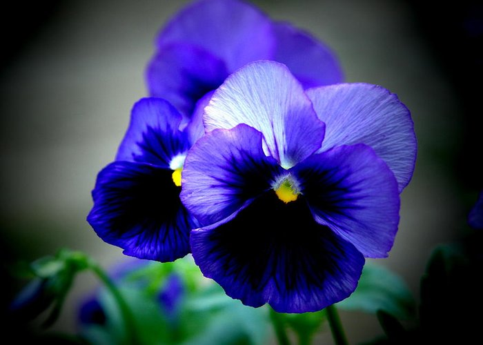 Pansy Greeting Card featuring the photograph Purple Pansy - 8x10 by B Nelson
