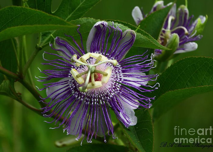 Passion Flower Greeting Card featuring the photograph Purple Passion Flower by Barbara Bowen