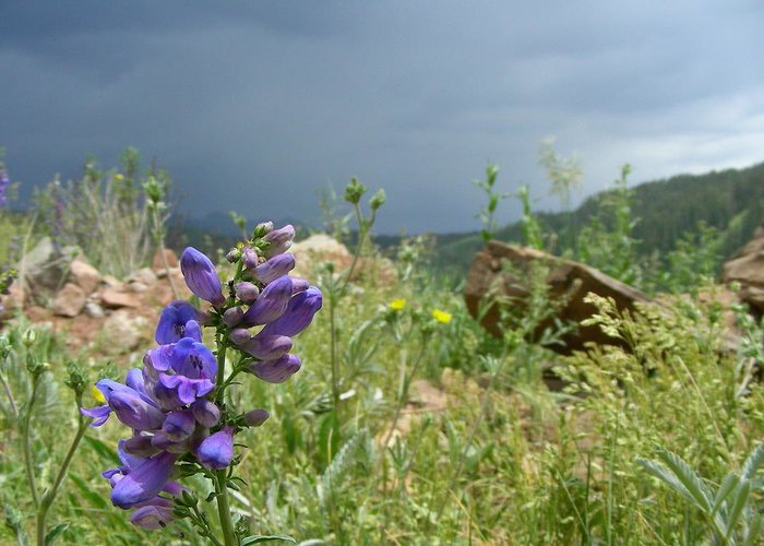 Mountain Flower Greeting Card featuring the photograph Purple Thunder by Peter McIntosh
