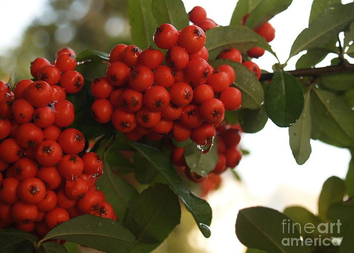 Pyracantha Greeting Card featuring the photograph Pyracantha Berries In December by Anna Lisa Yoder