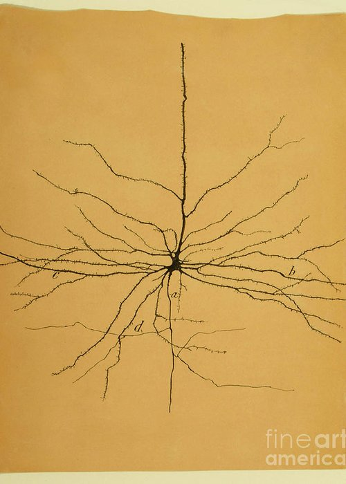 Pyramidal Cell Greeting Card featuring the photograph Pyramidal Cell In Cerebral Cortex, Cajal by Science Source