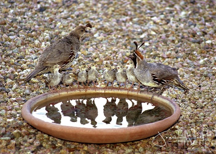 Quail Greeting Card featuring the photograph Quail Family Gathering Az by Joanne West
