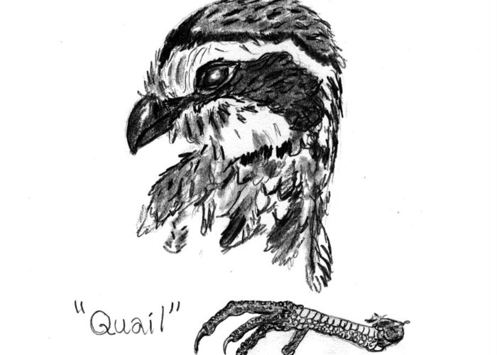 Quail Greeting Card featuring the drawing Quail Head With Foot by Kevin Callahan