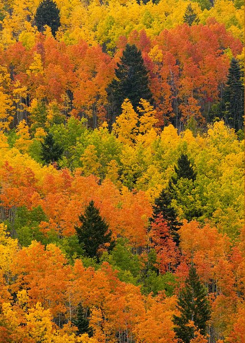 Pinus Ponoderosa Greeting Card featuring the photograph Quaking Aspen And Ponderosa Pine Trees by Ralph Lee Hopkins