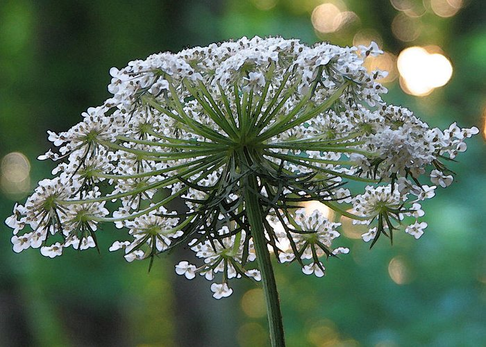 Queen Anne's Lace Greeting Card featuring the photograph Queen Anne In Her Glory by Ginger Howland