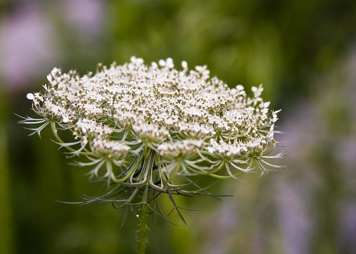Queen Anne's Lace Greeting Card featuring the photograph Queen Anne's Lace 2 by Gwen Vann-Horn