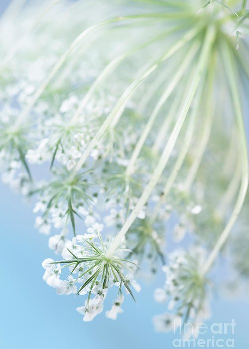 Queen Annes Lace Greeting Cards