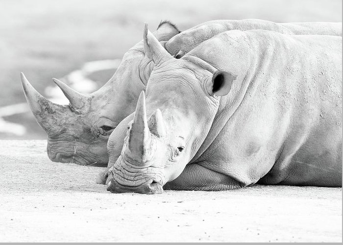 Southern White Rhino Greeting Card featuring the photograph Rhino Quiet Moment by EduArt Studio