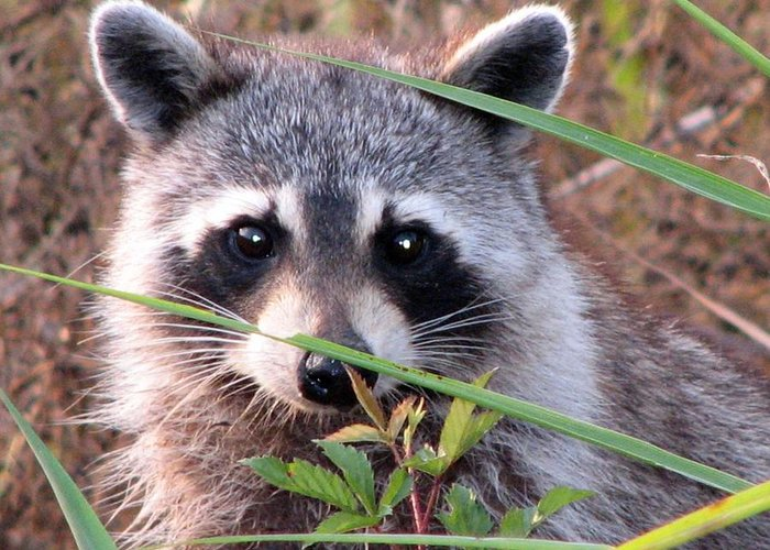 Raccoon Greeting Card featuring the photograph Raccoon 3 by J M Farris Photography