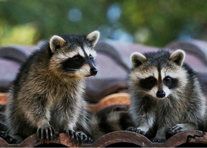 A Pair Of Raccoons Greeting Card featuring the photograph Racoons On The Roof by Dorothy Cunningham