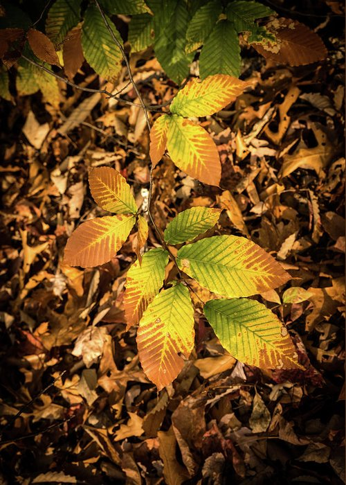Beech Greeting Card featuring the photograph Radiant Beech Leaf Branches by Douglas Barnett