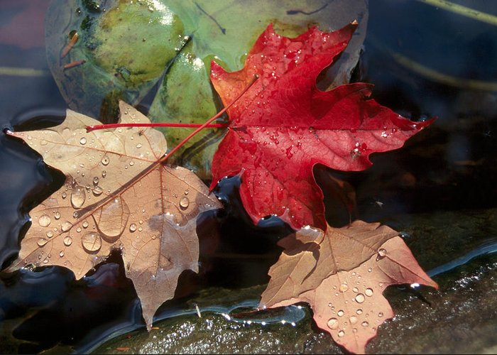 Fall Greeting Card featuring the photograph Rain Drops On Leaves by Raju Alagawadi