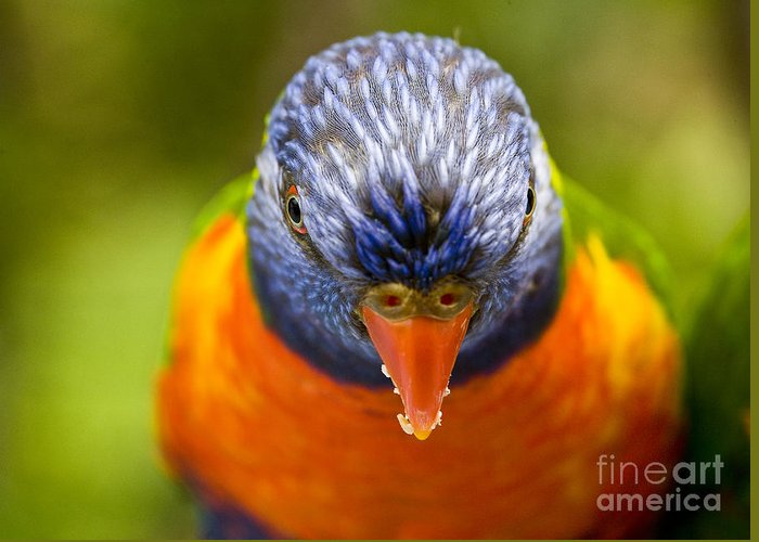 Rainbow Lorikeet Greeting Card featuring the photograph Rainbow Lorikeet by Sheila Smart Fine Art Photography