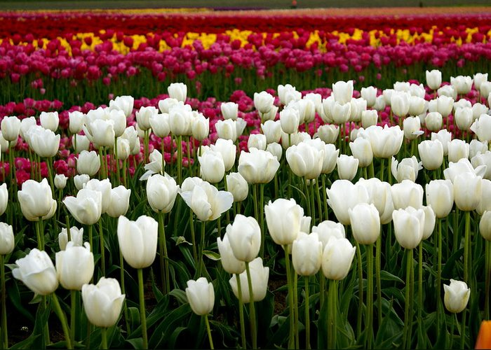 Flowers Greeting Card featuring the photograph Rainbow Of Tulips by Sonja Anderson