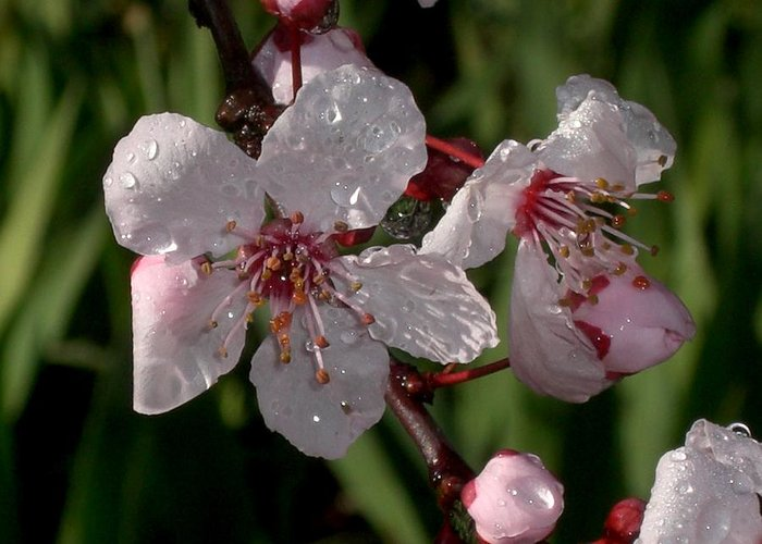Flower Greeting Card featuring the photograph Raindrops On..... by Nancy Atherton Cheadle