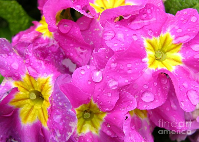 Pink Greeting Card featuring the photograph Raindrops On Pink Flowers 2 by Carol Groenen