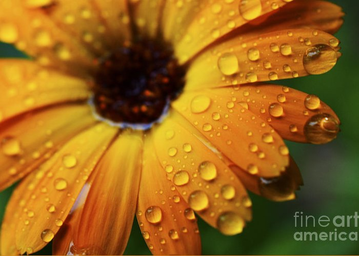 Orange Greeting Card featuring the photograph Rainy Day Daisy by Thomas R Fletcher