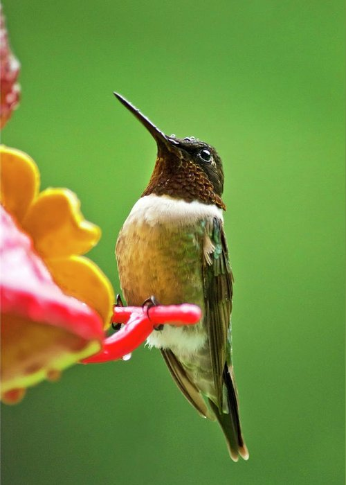Hummingbirds Greeting Card featuring the photograph Rainy Day Hummingbird by Christina Rollo
