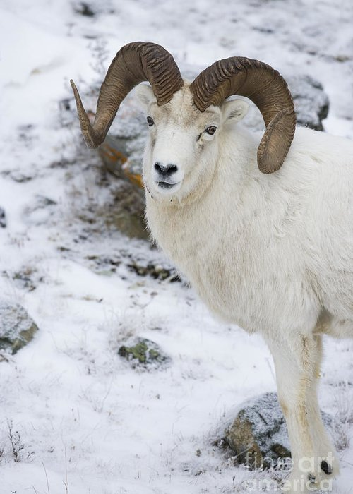 Dall Greeting Card featuring the photograph Ram In Profile by Tim Grams