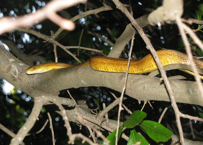 Snake Greeting Card featuring the photograph Rat snake in a tree at dusk by Donna Phitides